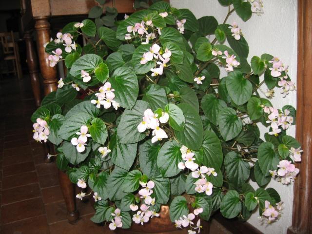 mon seul bégonia [Begonia Cascade Rose] - Page 2 Img_0219