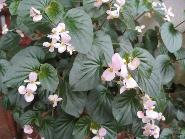 mon seul bégonia [Begonia Cascade Rose] - Page 2 Img_0220