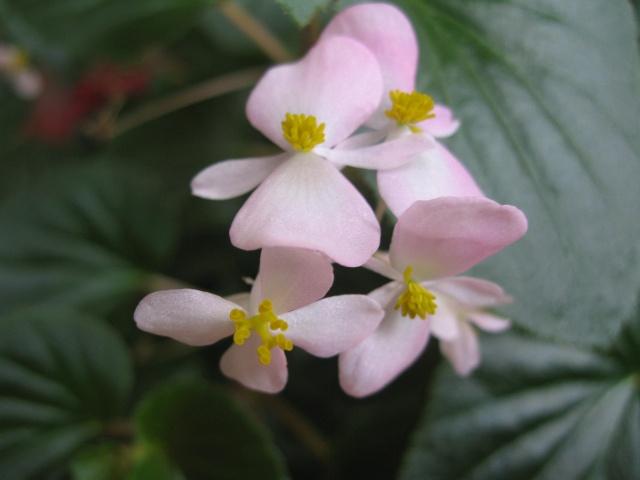 mon seul bégonia [Begonia Cascade Rose] - Page 2 Img_0221