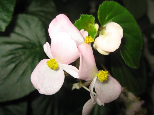 mon seul bégonia [Begonia Cascade Rose] - Page 2 Img_0222