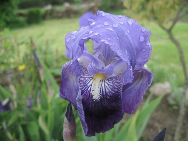 premier iris  Img_0315