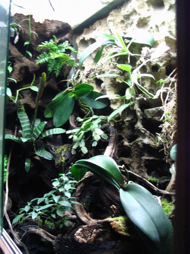 Dendrobates Bambou10