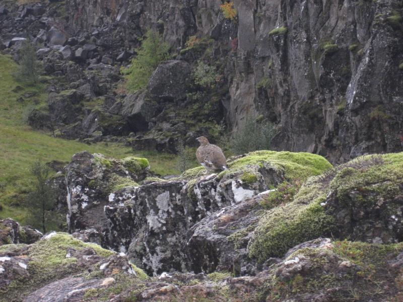 oiseau islandais Img_5013