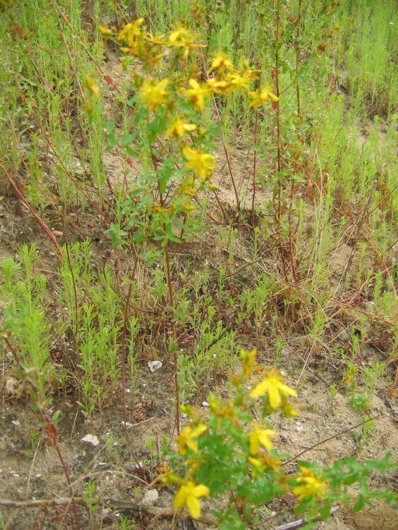 plantes de milieux sableux (le retour) Photo_22