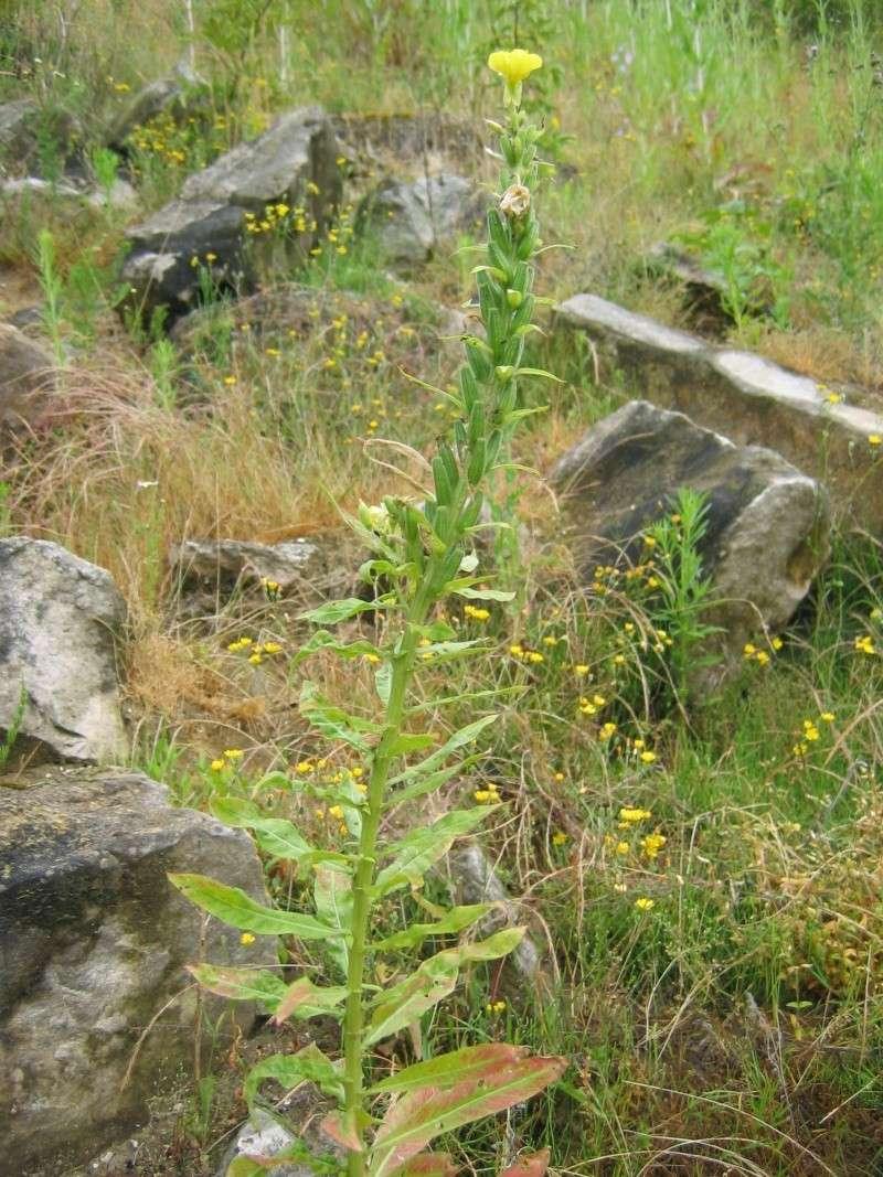 plantes de milieux sableux (le retour) Photo_24