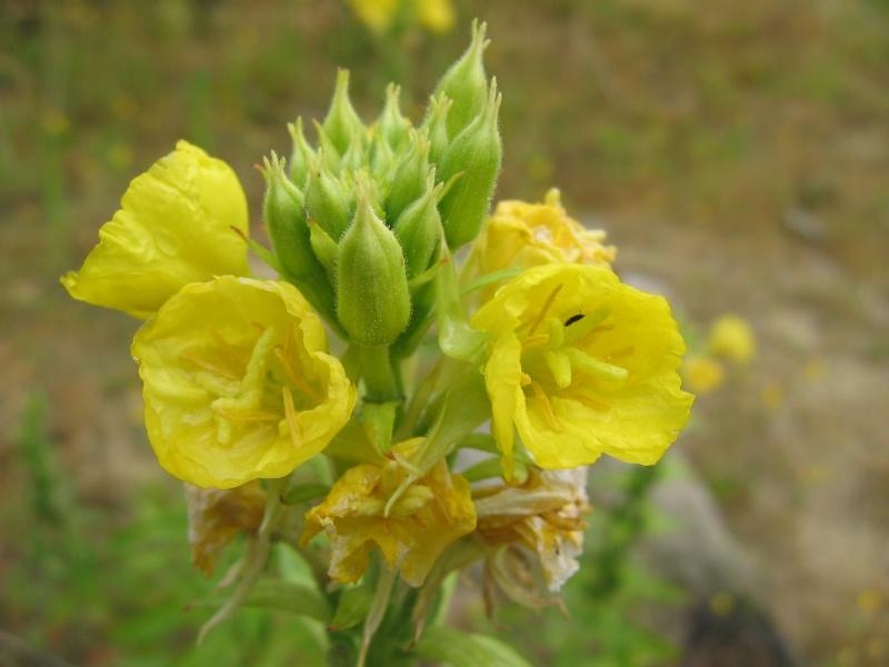 plantes de milieux sableux (le retour) Photo_25