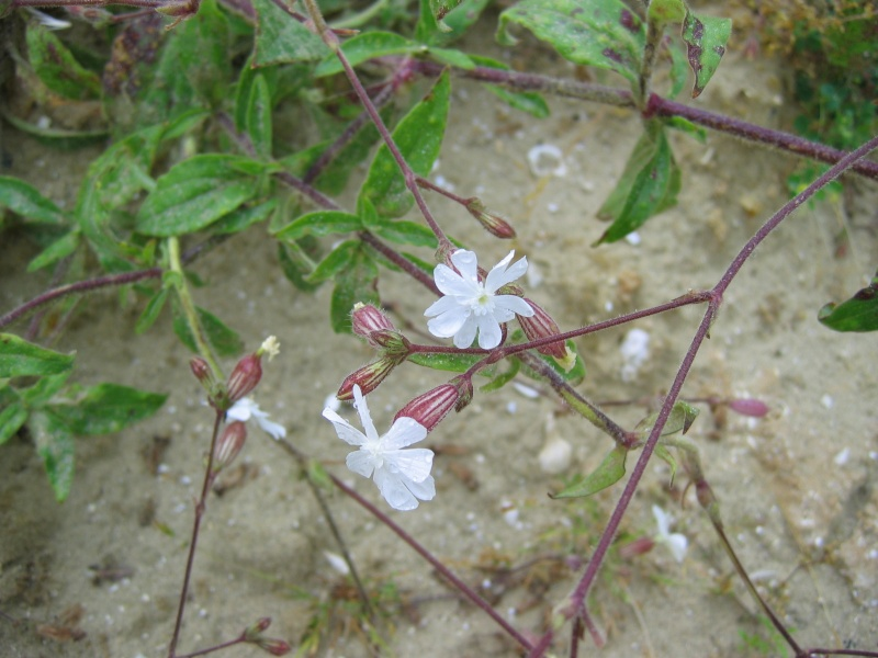 plantes des milieux sableux (suite et fin) Photo_37