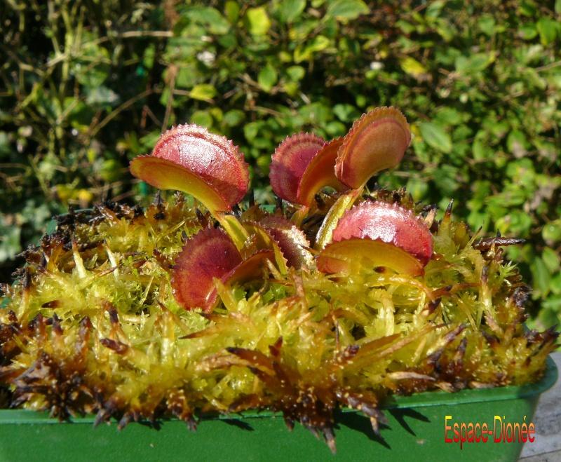 Dionaea Muscipula 'Dentate' P1030410
