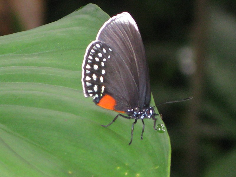 [Eumaeus godartii]  (Lycaenidae theclinae)Riodinidae ? Img_3611