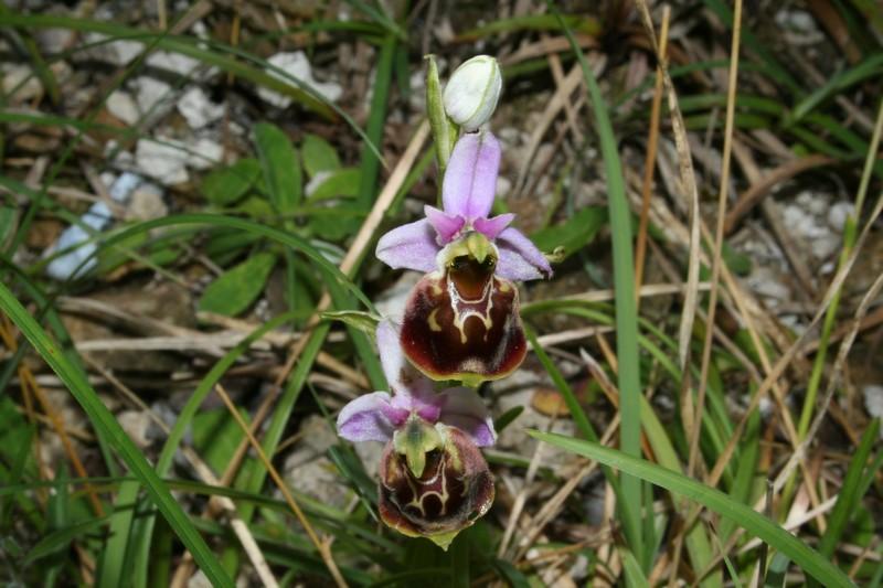 Variation sur Ophrys fuciflora normandes 210