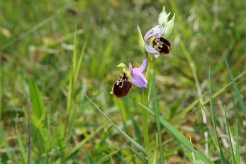 Variation sur Ophrys fuciflora normandes 610