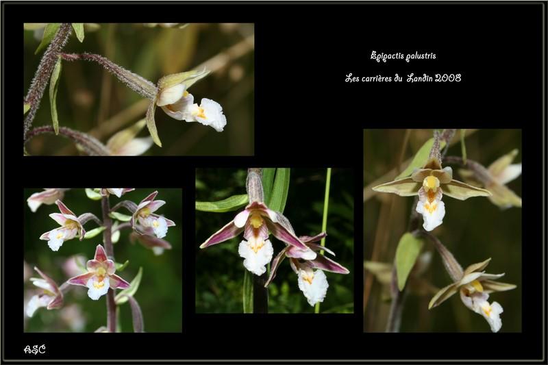 Epipactis palustris ( Epipactis des marais ) E_palu11