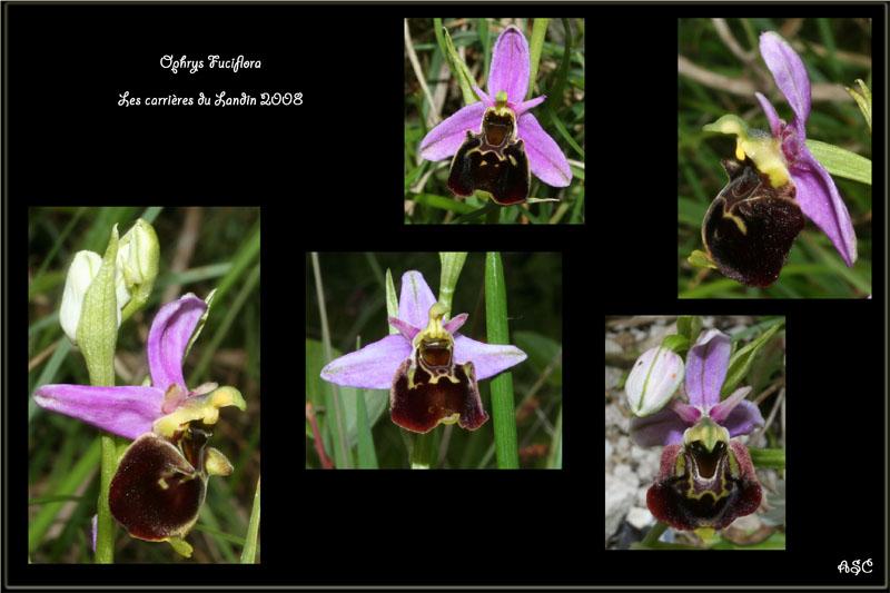 Ophrys fuciflora ( Ophrys frelon  ) O_fulc11
