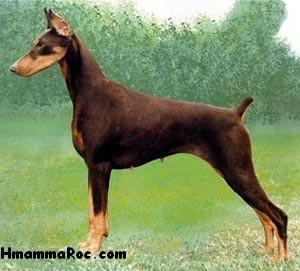 أنواع الكلاب Doberman Pinscher كل ما يخص الدوبرمان 418