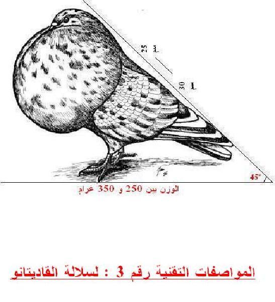 الشرح التفصيلي لسلالة القاديتانو  5581_011