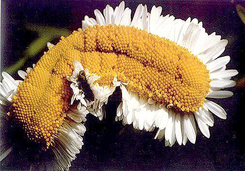 anomalie sur une fleur de phalaenopsis! Paquer10