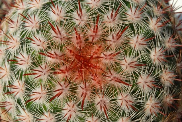 Mammillaria jaliscana TL 721 M_jali10