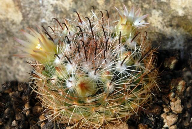 Mammillaria rettigiana TL 072 M_rett10