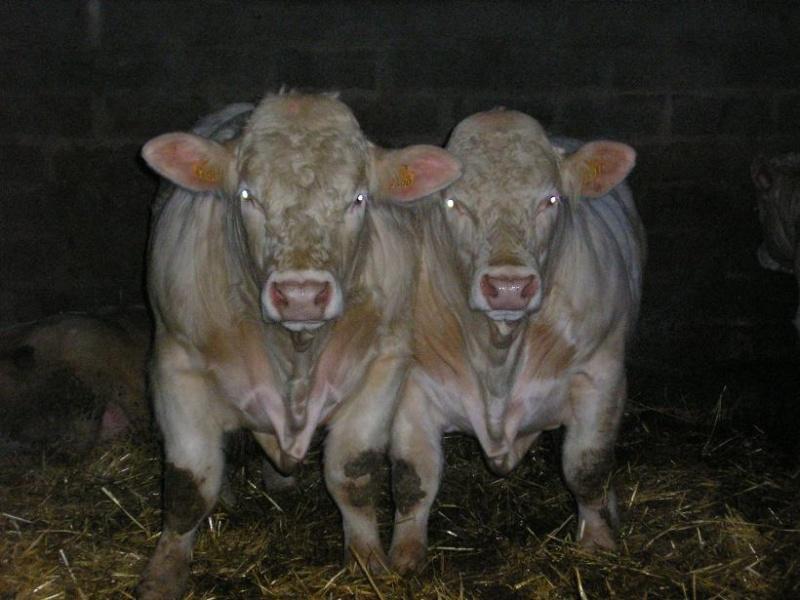 Les photos vaches P2250010