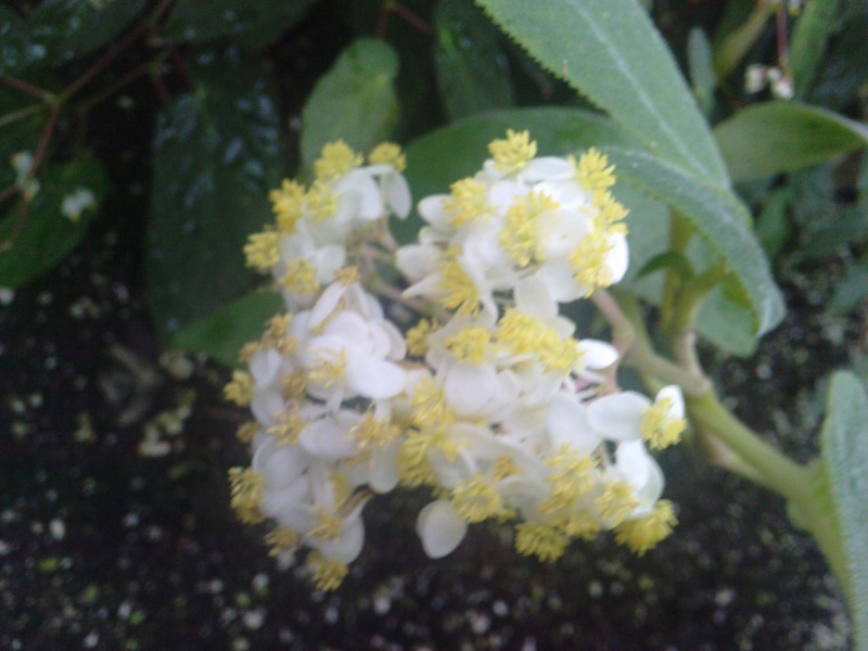 Begonia egregia (tige forte) Bagoni19