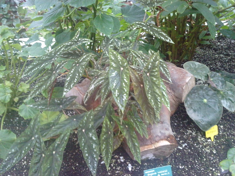 Begonia lubbersii Bagoni20