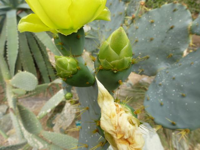OPUNTIA phaeacantha  Fleurs13