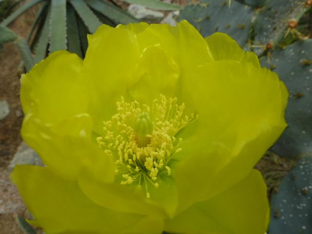 OPUNTIA phaeacantha  Fleurs14