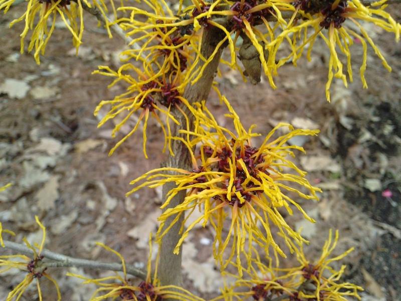Floraisons hivernales  P1602112