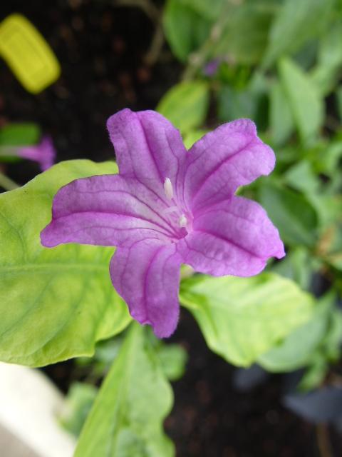 Quelques macros photos d' Acanthaceae 3 eme  série  Ruelli12