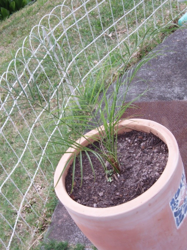 semis de graines de palmier dattier Pb060012