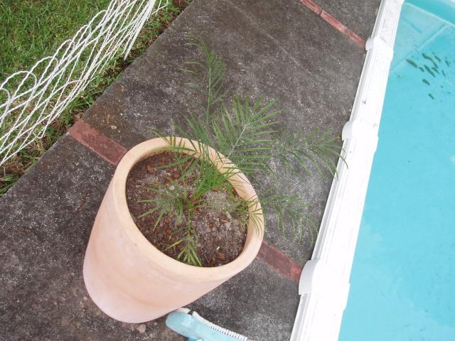 semis de graines de palmier dattier Pb060013