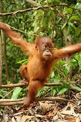[Indonésie] - Le parc national de Gunung Leuser (Sumatra) 280px-12