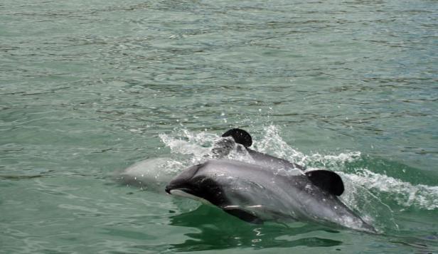 [Nouvelle-Zélande] - Le gouvernement accusé d'inaction face à l'extinction du dauphin le plus rare de la planète Articl12