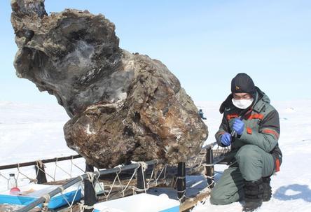 Des scientifiques russes découvrent un mammouth avec son sang  Des-sc10