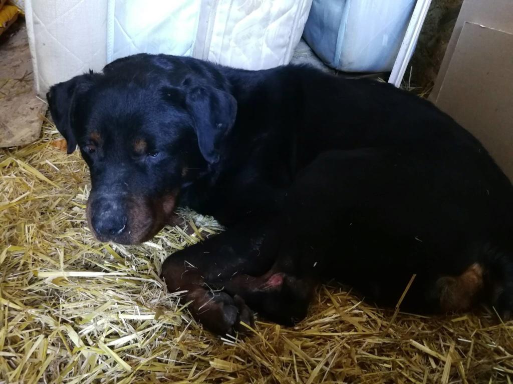 MARCO - mâle Rottweiller de taille moyenne, né en 2010 ou 2011. (BUCAREST) - CHEZ ALINA & ANDA - Adopté par LUC- décédé  27907610
