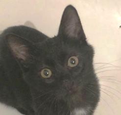 MIKE - très joli chat mâle, très joueur, né en mars 2018 (BUCAREST) - CHEZ CARMINA- RESERVE EN ALLEMAGNE 39932511