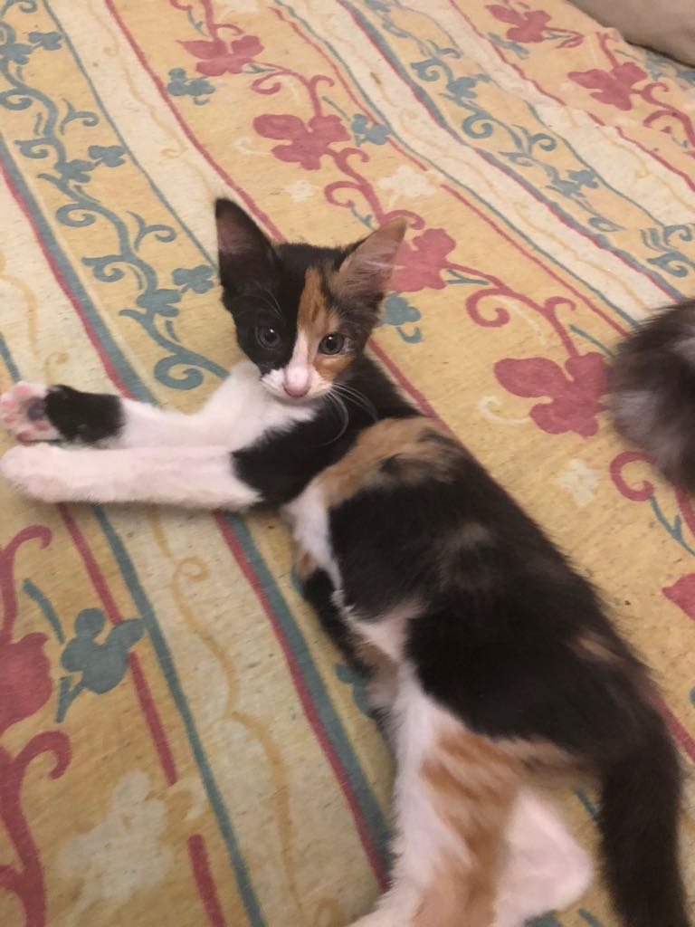 NALA - magnifique chat femelle multicolore, née en mai 2018 (BUCAREST) - CHEZ CARMINA - ADOPTEE EN ROUMANIE 39992210