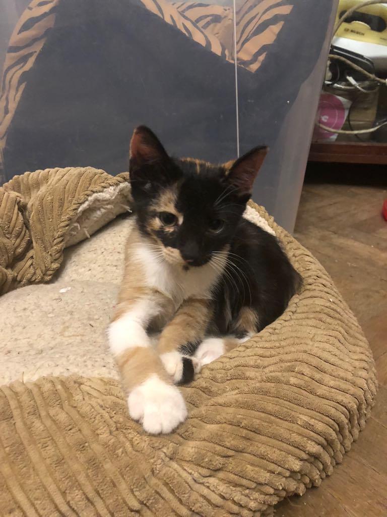 BETZI- magnifique chat femelle multicolore, née en mai 2018 (BUCAREST) - CHEZ CARMINA - RESERVEE EN ALLEMAGNE 40001210