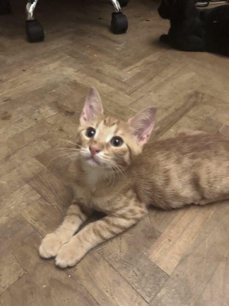 DRAGOMIR (ex MR LOUIS) - magnifique chat mâle léopard, né fin mai 2018 (BUCAREST) - EN FA chez Abysse (92) - ADOPTE PAR CYRIL (92) 40001212