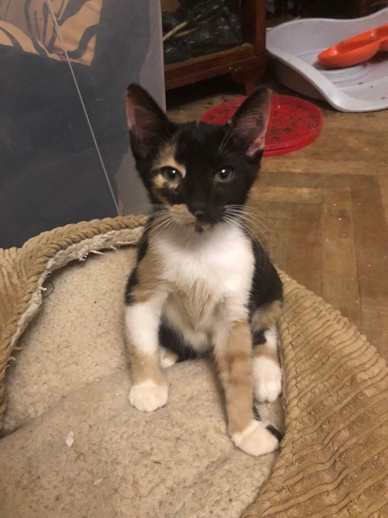 BETZI- magnifique chat femelle multicolore, née en mai 2018 (BUCAREST) - CHEZ CARMINA - RESERVEE EN ALLEMAGNE 40007710