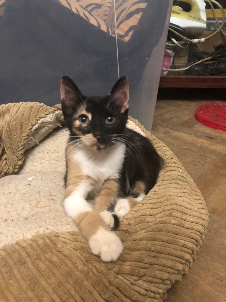 BETZI- magnifique chat femelle multicolore, née en mai 2018 (BUCAREST) - CHEZ CARMINA - RESERVEE EN ALLEMAGNE 40011710