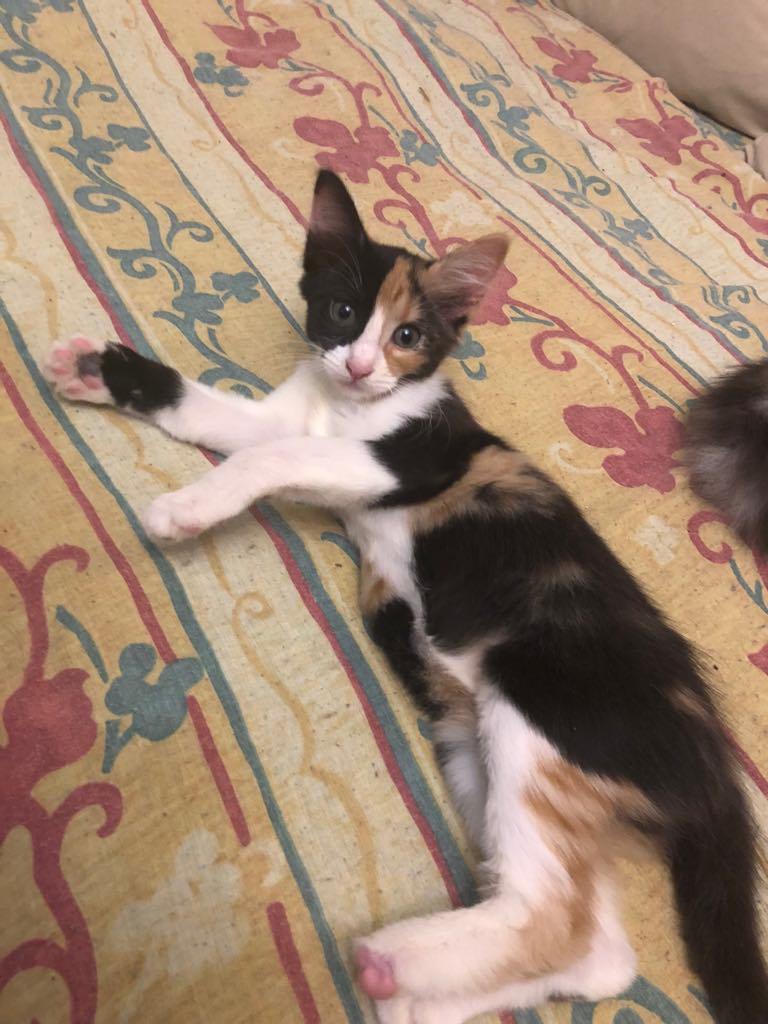 NALA - magnifique chat femelle multicolore, née en mai 2018 (BUCAREST) - CHEZ CARMINA - ADOPTEE EN ROUMANIE 40021510