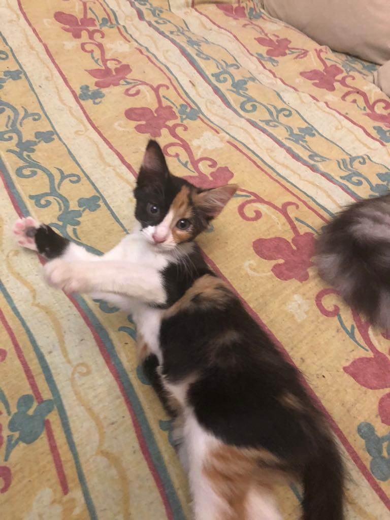 NALA - magnifique chat femelle multicolore, née en mai 2018 (BUCAREST) - CHEZ CARMINA - ADOPTEE EN ROUMANIE 40023910