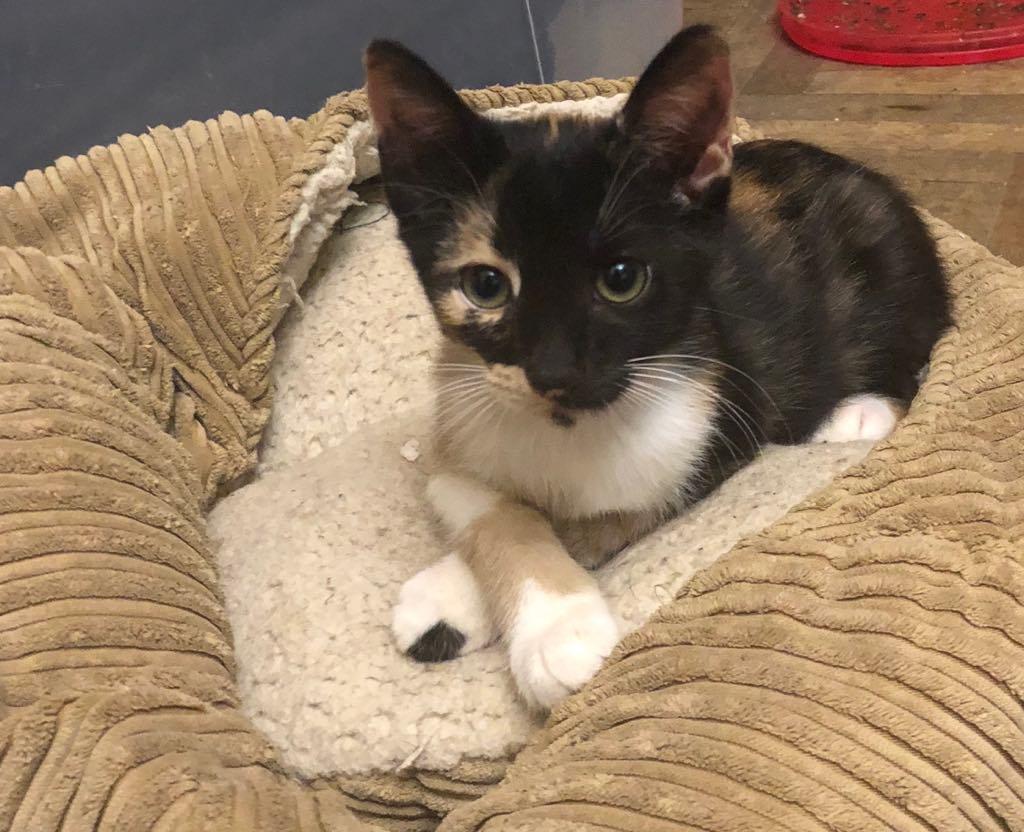 BETZI- magnifique chat femelle multicolore, née en mai 2018 (BUCAREST) - CHEZ CARMINA - RESERVEE EN ALLEMAGNE 40025910