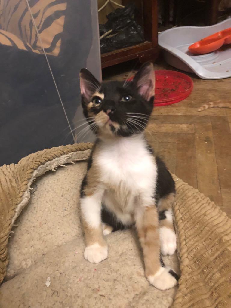 BETZI- magnifique chat femelle multicolore, née en mai 2018 (BUCAREST) - CHEZ CARMINA - RESERVEE EN ALLEMAGNE 40026310