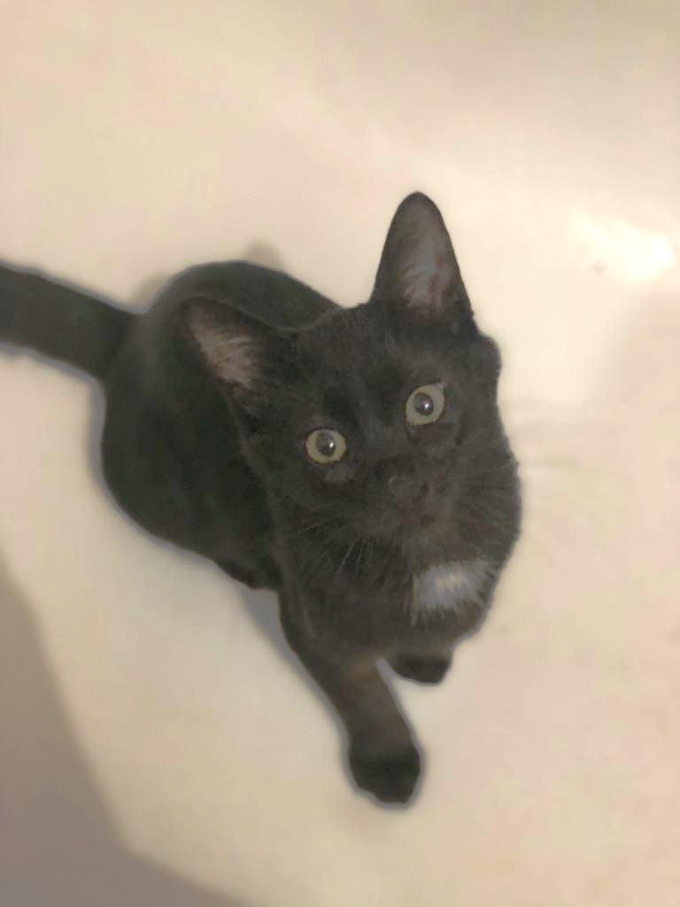 MIKE - très joli chat mâle, très joueur, né en mars 2018 (BUCAREST) - CHEZ CARMINA- RESERVE EN ALLEMAGNE 40031410