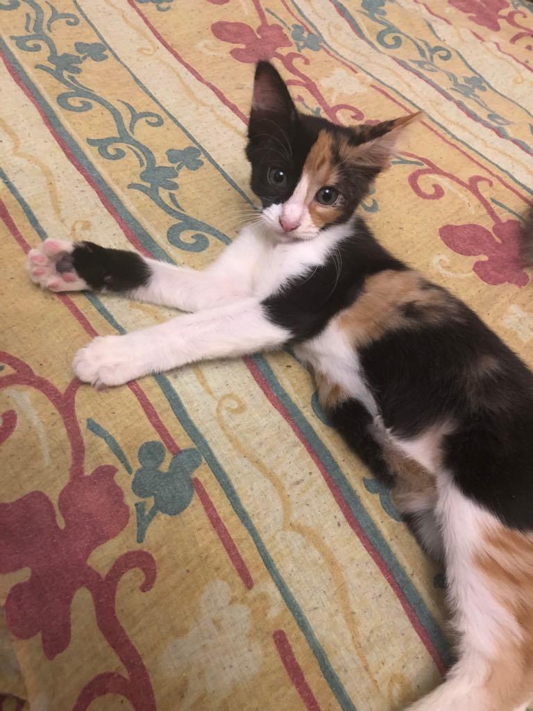 NALA - magnifique chat femelle multicolore, née en mai 2018 (BUCAREST) - CHEZ CARMINA - ADOPTEE EN ROUMANIE 40033410