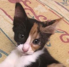 NALA - magnifique chat femelle multicolore, née en mai 2018 (BUCAREST) - CHEZ CARMINA - ADOPTEE EN ROUMANIE 40033411