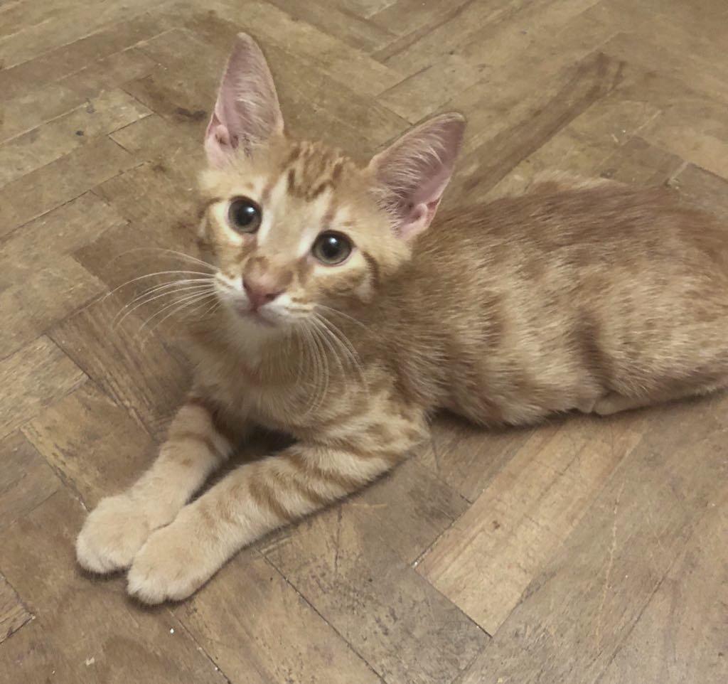 DRAGOMIR (ex MR LOUIS) - magnifique chat mâle léopard, né fin mai 2018 (BUCAREST) - EN FA chez Abysse (92) - ADOPTE PAR CYRIL (92) 40033412