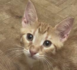 DRAGOMIR (ex MR LOUIS) - magnifique chat mâle léopard, né fin mai 2018 (BUCAREST) - EN FA chez Abysse (92) - ADOPTE PAR CYRIL (92) 40033413